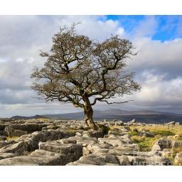 lone-hawthorn-tree-at-winskill-stones-andrew-ray (2).jpg